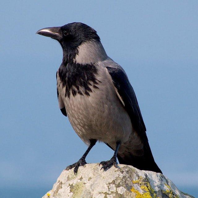 Hooded Crow Corvus Cornix Ireland S Wildlife