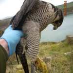 Poisoned Peregrine Falcon