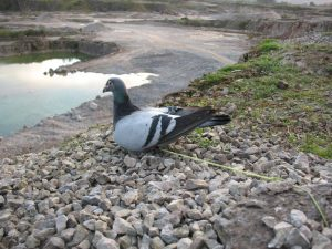 Live pigeon poisoned bait
