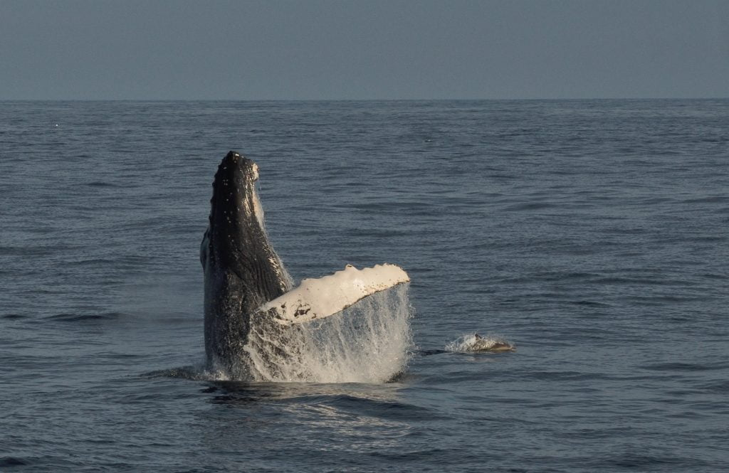 Whalewatching in West Cork: Humpback and common Dolphin