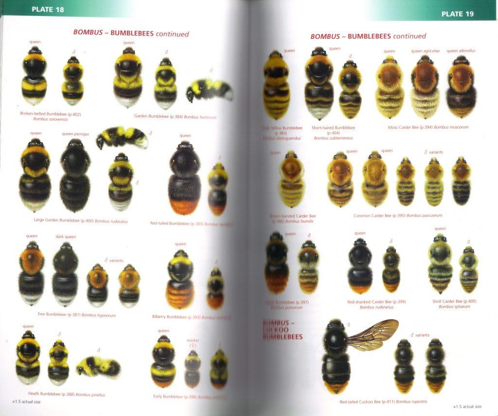 Bumblebee Illustrations