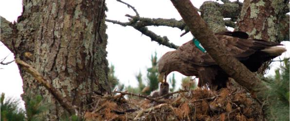 White tailed eagle: parent feeding chick photo gallery