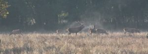 Red deer stag guarding his harem
