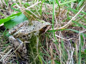 Common Frog Encounter