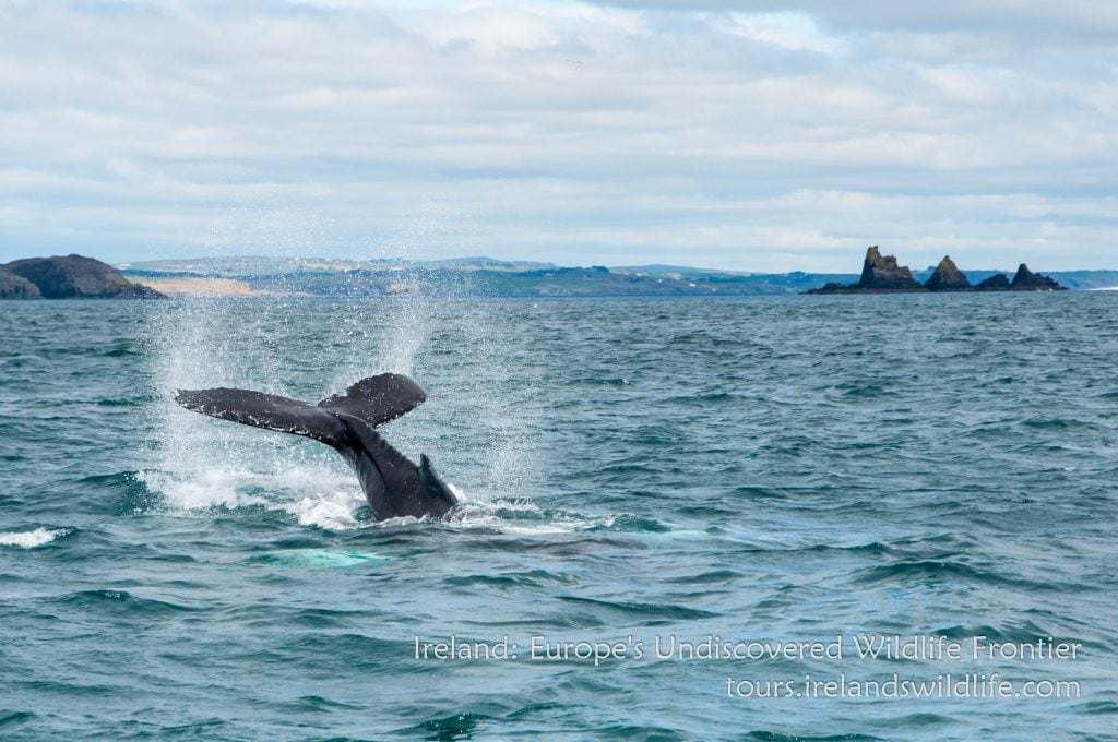 Humpback whale off Ireland's Wild South Coast