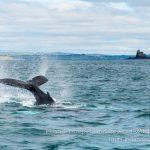 Humpback whale off Ireland's Wild South Coast