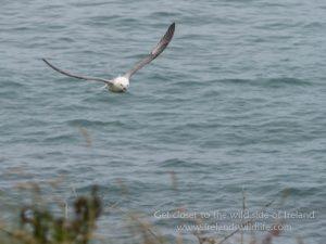 Fulmar in flight Lumix G9