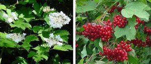 Tree Day 2018 Viburnum_opulus -- Guelder Rose