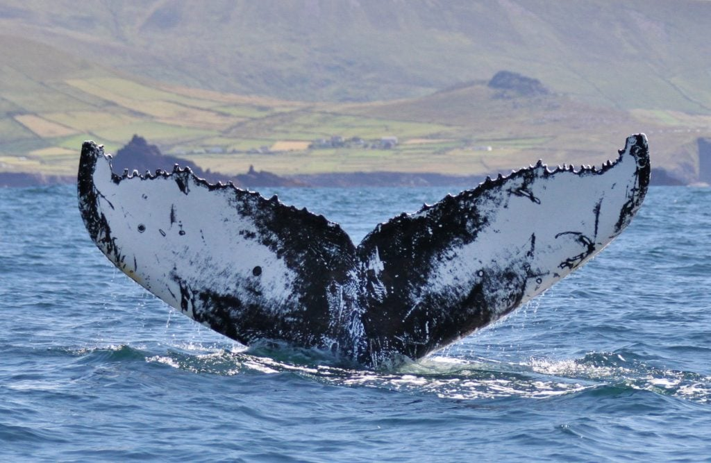Humpback Whale off the Blasket Islands in West Kerry